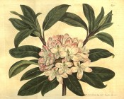 Figured are oblong leaves and cluster of bell-shaped pale rosy-pink flowers.  Curtis's Botanical Magazine t.951, 1806.