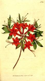 Figured is a single azalea with scarlet, long-tubed flowers.  Curtis's Botanical Magazine t.180, 1792.