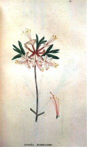 Figured is a single azalea with pinkish flowers and long red tubes.  Saint-Hilaire Tr. pl.19, 1825.