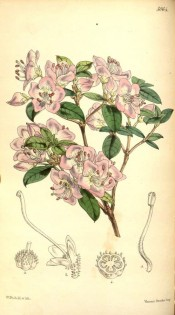 figured is an azalea with pink flowers with small darker spots.  Curtis's Botanical Magazine t.5064, 1858.