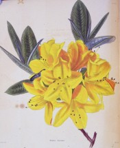 Figured are glossy, oblong leaves and large bright yellow flowers.  Loddiges Botanical Cabinet no.885, 1824.