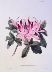 Illustrated are leaves and deep pink, long-tubed flowers.  Loddiges Botanical Cabinet no.441, 1820.