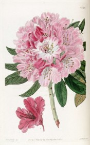 Shown is a single pink flower of R. x nobleleanum with a larger depiction of R. pulcherrimum.  Botanical Register t.1820, 1836.