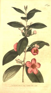 Figured are oval, opposite leaves and axillary, clustered rose-coloured flowers.  Curtis's Botanical Magazine t.250, 1794.