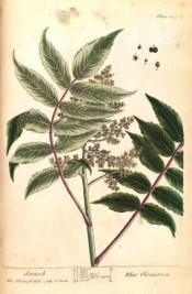 The plate depicts pinnate leaves, loose panicle of small flowers and detail of fruits.  Blackwell pl.486, 1739.