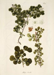 Several images show 3-pinnate leaves, panicles of whitish flowers and yellow berries.  Jacquin Sch. vol.3, t.347, 1797-1804.