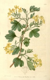 Illustrated are the 3-lobed leaves and yellow flowers.  Botanical Register f.125, 1816.