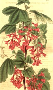 Shown are 3- to 5-lobed leaves and pendant racemes of tubular, deep pink flowers.  Curtis's Botanical Magazine  t.3335, 1834.
