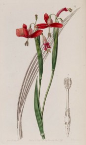 Illustrated are sword-shaped leaves and and semi-pendant, iris-like bright red flowers.  Botanical Register f.68, 1841.