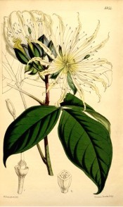 Illustrated are the oblong leaves and large white flowers.  Curtis's Botanical Magazine t.5344, 1862.