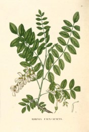 Shown are pinnate leaves with lance-shaped leaflets, and pendant raceme of white flowers.  Saint-Hilaire Arb. pl.71/1824.