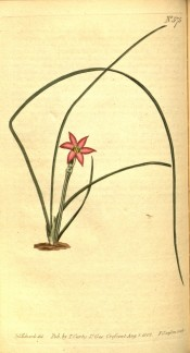 Figured are long, wiry leaves and small pink flower.  Curtis's Botanical Magazine t.575, 1802.