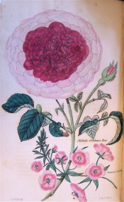 The rose figured is very double with pale pink outer petals but deep red inner ones.  Floricultural Cabinet p.193, 1837.