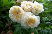 The photograph shows a group of very double pale yellow roses.