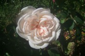 The photograph shows a very double pale pink rose.