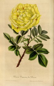 Figured is a thorny stem with a double yellow flower with a few red marks.  Flore des Serres f.374, 1848.