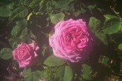 The photograph shows a very double deep pink rose.