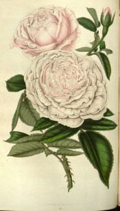 Figured is a very double rose with white flowers shaded pink.  Flore des Serres f.691, 1852.
