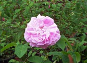 The photograph shows a very double rose with salmon-rose flowers and pale green foliage.