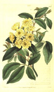 Figured are pinnate leaves and a cluster of small yellow, double roses.  Botanical Register f.1105, 1827.