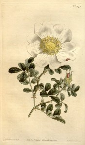 Shown are leaves and single flowers of pure white with prominent yellow stamens.  Curtis's Botanical Magazine t.1377,1811.