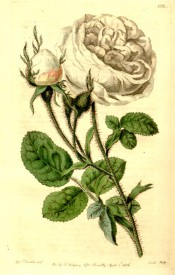 Figured is a very double white rose with mossy stems and buds.  Botanical Register f.102, 1816.