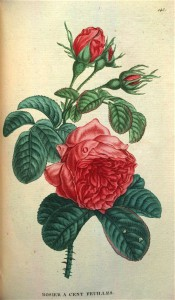 Figured are glossy, deep green foliage and very double red rose.  Saint-Hilaire Tr. pl.143, 1825.