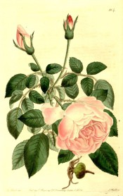 Figured are 5-leaflet pinnate leaves and very double, pale pink rose.  Botanical Register f.804, 1824.
