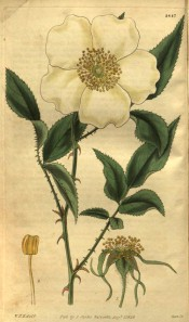 Figured are pinnate leaves, single white flower and details of flower.  Curtis's Botanical Magazine t.2847, 1828.