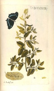 The illustration shows oblong leaves and white flowers with butterfly (Papilio Kollina).  Meerburgh Afb. pl.XXXXIII, 175.