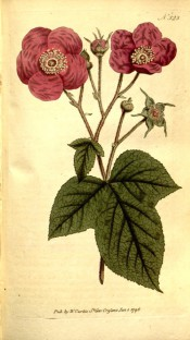 Figured are 3-lobed leaves and salverform purple-pink flowers.  Curtis's Botanical Magazine t.323, 1796.