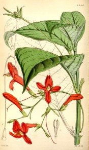 Figured are pointed, ovate leaves and axillary panicles of scarlet flowers.  Curtis's Botanical Magazine BM t.4448, 1849.