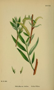 Figured is a reddish-yellow branch with narrow lance-shaped leaves and yellow catkins.  English Botany pl.MCCXI, 1863-86.