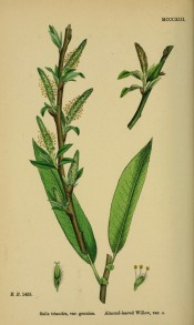Figured is a brownish shoot with narrow lance-shaped leaves and green, upright catkins.  English Botany pl.MCCCXIII/1868.