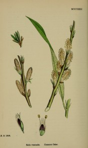 Figured is a green-brown shoot with narrow lance-shaped leaves and rounded, upright catkins.  English Botany pl.MCCCXII/1868.