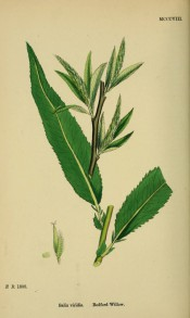 Figured is a green-brown shoot with narrow lance-shaped leaves and upright green catkins.  English Botany pl.MCCCXIII/1868.