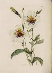 Figured are funnel-shaped white flowers with yellow throat marked with purple lines.  Loddiges Botanical Cabinet no.1652, 1830.