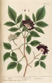 Figured are pinnate leaves, small white flowers and deep red berries.  Blackwell pl.151, 1737.