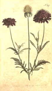 Depicted are the deeply cut leaves, purple pincushion flowers and seed head.  Curtis's Botanical Magazine t.247, 1793.
