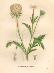 The image depicts leaves, white flowers and the spherical, silvery seed head.  Saint-Hilaire pl.59, 1828.
