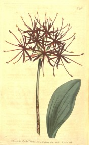 Illustrated are a leaf and flower umbel with deep red flowers with narrow segments.  Curtis's Botanical Magazine t.961, 1806.