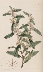 Shown are the oblong leaves and tiny, whitish flowers in short axillary racemes.  Botanical Register f.59, 1843.