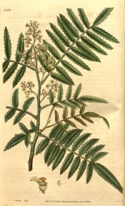 Figured are toothed pinnate leaves and panicles of small whitish flowers.  Curtis's Botanical Magazine t.3339, 1834.