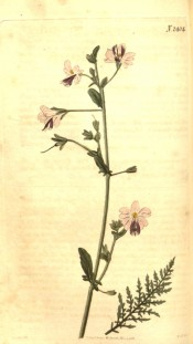 Figured is the ferny foliage and pink flowers with purple lips.  Curtis's Botanical Magazine t.2404, 1823.