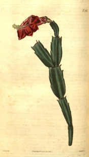 Figured are flattened, serrated stem segments and a terminal red flower.  Curtis's Botanical Magazine t.2562, 1825.