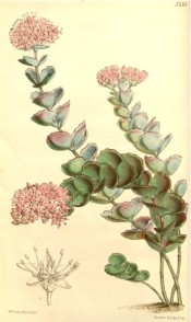 The image shows rounded, scalloped, fleshy leaves and terminal raceme of pink flowers.  Curtis's Botanical Magazine t.5358, 1863