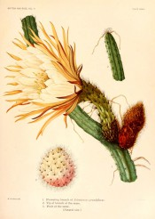 Figured is a cylindrical cactus with large white flower and pink fruit.  The Cactaceae vol.II, pl.33, 1820.