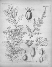 The drawing shows spiny shoots in flower and in leaf with berries.  Flora Boreali-Americana vol.2, tab.CLXXVIII, 1840.