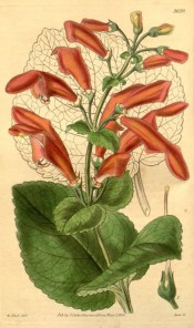 Shown are heart-shaped leaves and terminal panicles of large velvety scarlet flowers.  Curtis's Botanical Magazine t.3659, 1838.