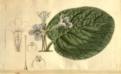 Figured is a single large, hairy leaf and small mauve, trumpet-shaped flowers.  Curtis's Botanical Magazine t.2690, 1826.